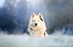 Mahpee (Magic Dogs Photography - Elisa Pirat) Tags: chien nikon d7000 nature givre hiver glace dog pets champs