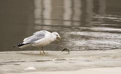 Blahhhh! (MiriamPoling) Tags: gull fish dinner ice