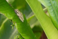 Mittagsschlaf (ewiggestrig) Tags: thailand asia kohphangan baumfrosch treefrog amphipien helikonie commontreefrog polypedatesleucomystax weisbartruderfrosch