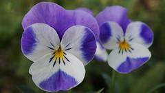 Dans l'obscurité de tes pensées, j'aimerais être une lumière. (passionpapillon) Tags: macro fleur flower bleu blu pensée passionpapillon 2018 viola