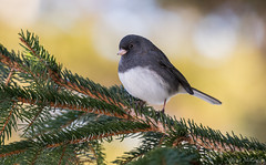 Dark-eyed Junco (Melissa M McCarthy) Tags: darkeyedjunco junco bird songbird small tiny cute fluffy animal nature outdoor branch green neutral bokeh grey white portrait stjohns newfoundland bowringpark canon7dmarkii canon100400isii