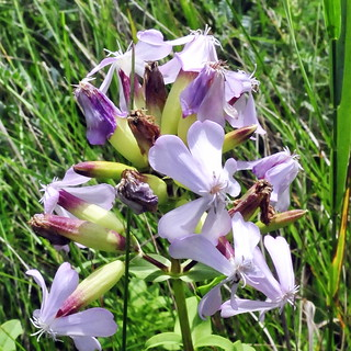 A Walk After The BBQ 25 - Common Soapwort (Saponaria officinalis)
