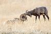 BAM! (Patty Bauchman) Tags: bighornsheep rut yellowstone montana bighornrams wildlife nature