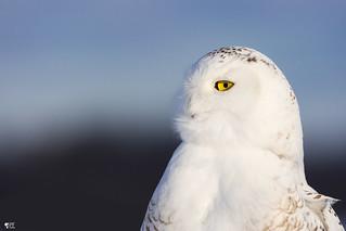 ''Plumes en folie!'' harfang des neiges-Snowy owl