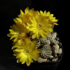 Sulcorebutia langeri LH0718 '503' (Pequenos Electrodomésticos) Tags: cactus cacto flower sulcorebutia sulcorebutialangerilh0718