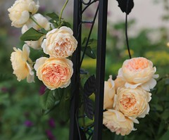 Flowers (kimsfotos) Tags: roses columbine garden red yellow blue peach white pink purple flowers dahlia daisy gebera lily lilac peony violet