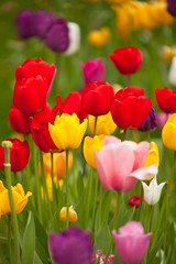 Colour Collage (Adam Swaine) Tags: tulips flora flowers colours spring springinkent petals churchyard england english britain nature uk ukcounties beautiful