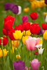 Colour Collage (Adam Swaine) Tags: tulips flora flowers colours spring springinkent petals churchyard england english britain nature uk ukcounties beautiful