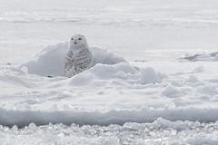 (Rick 2025) Tags: birds raptors owls snowyowls wolfeisland wolfeislanderiii crossing ferry
