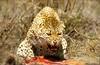 Namibia Animals - 05 (Sergey V.Kozlov) Tags: africa namibia etosha leopard wildlife sonya900