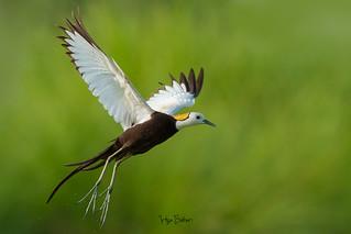 Take Off ( Pheasant-tailed jacana )