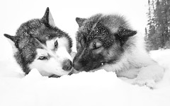'' White World '' 9/10 (camel.arnaud) Tags: husky malamute groenlandais greenland dog chien quebec hiver winter sled traineau blanc noir black white a6500 sony ef 1740 f4 sigma mc11