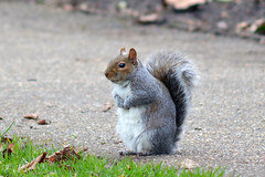 Lost in thought... (Caulker) Tags: canonspark greysquirrel