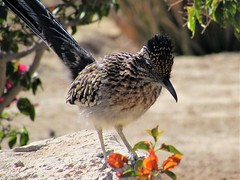 Visitor comes back (thomasgorman1) Tags: flowers garden bird birds roadrunner desert canon closeup rock baja mexico nature outdoors wildlife visitor