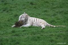 Tigre blanc (Passion Animaux & Photos) Tags: zoo cerza france tigre blanc white tiger