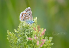 Another 'Common Blue' ( Explored ) (nondesigner59) Tags: polyommatusicarus commonbluebutterfly lepidoptera closeup nature wildlife archives eos50d nondesigner nd59