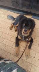 25498056_10214663977620040_6793269757551015241_n (natedetienne) Tags: ash tibetan mastiff puppy tm