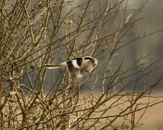 Unlucky vole. Record shot of Great Grey Shrike ( Lanius excubitor) 2 of 2.