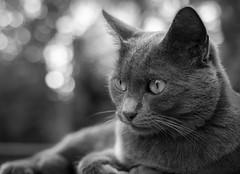 Siva in summer 2017 (Jana`s pics) Tags: cat cats cateye portrait katze katzen blackandwhite schwarzweis monochrom monochrome bw bandw animal nature pet tier haustier cute niedlich eos750d 35mm