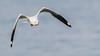 Brown-Headed Gull (anarchistpixel) Tags: brownheadedgull seagull goa chapora 150600mmf563dgoshsm c