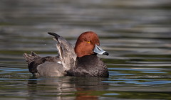 Redhead duck Drake Reid park az. (mandokid1) Tags: canon 1dx canon500f4 birds duck waterfowl arizona