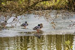 Animals. (ost_jean) Tags: ducks eenden canards dieren nikon d5200 tamron sp 90mm f28 di vc usd macro 11 f004n belgie belgique belgica belgium ostjean river vilvorde vilvoorde ice