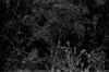 Film - converted to b&w - nature (burntfeather) Tags: filmphotogaphy convertedtoblackandwhite film digitallyprocessed blackandwhite portmacquarie