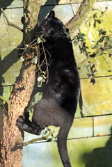 jaguar artis BB2A7854 (j.a.kok) Tags: jaguar jaguarcub zwartejaguar blackjaguar kat cat mammal artis animal zoogdier zuidamerika southamerica dier