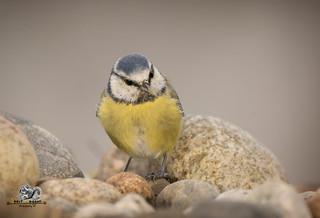 blue tit standing on pebbles