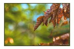 Am Baum verwelkt (günter mengedoth) Tags: laub baum bokeh winter verwelkt pentaxk1 ricoh pentaxflickraward