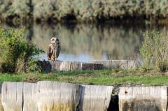 FAB_7828.jpg (Natur'vendée) Tags: hiboudesmarais oiseaux animaux animal oiseau