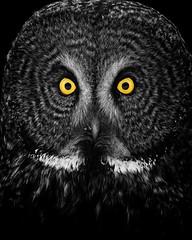Mesmerize (jrlarson67) Tags: great grey gray owl blackwhite blackandwhite bw colorsplash eyes intense bird portrait closeup