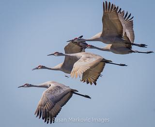 Sandhill Cranes in Flight (EXPLORED!)