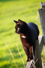 On the Fence (6079 Jones, P) Tags: pussy farm smallholding england countryside canon eos 1200d img7938 cat feline fence grass field animal nature canonefs55200mm golden hour light warm whiskers prowl kitten pet