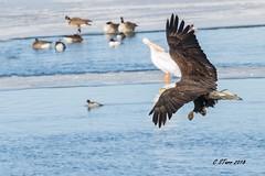 IMG_9131 american bald eagle (starc283) Tags: starc283 eagle americanbaldeagle bird birding birds baldeagle flickr flicker wildlife waterfowl winter canon canon7d outdoors outdoor nature naturesfinest nebraska naturewatcher