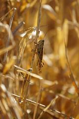 DSC07477.jpg (joe.spandrusyszyn) Tags: unitedstatesofamerica circlebbarreserve orthoptera caelifera nature grasshopper byjoespandrusyszyn polkcounty florida insect lakeland arthropod animal