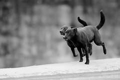 犬力以赴 ( 臺灣犬 ) (Kaede Wu) Tags: canislupusfamiliaris taiwandog dog animal animalplanet nature wildlife photography portrait taiwan canon canonef600mmf4lisiiusm 640isii canonefextender14xiii canoneos1dxmarkii 1dxii kaedewu taipei 臺灣犬 台灣土狗 福爾摩沙犬 國寶犬 高砂犬 犬 狗 動物 動物攝影 自然 自然攝影 自然生態 生態 生態攝影 臺灣 黑白 blackandwhite bw