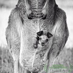 joey (honourable mention, monochrome awards 2017) (Fat Burns ☮ (on/off)) Tags: roo kangaroo easterngreykangaroo fauna australianfauna nikond750 sigma150600mmf563dgoshsmsports sigmatc140114xteleconverternik barcaldine australia macropusgiganteus
