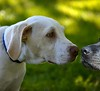 Nose To Nose (swong95765) Tags: kiss dogs canine animals greet sniff cute bokeh animal pet dog
