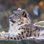 Snow leopard thumbnail