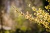 Printemps? (Kimoufli) Tags: printemps spring nature vivelanature plante végétal végétation branche