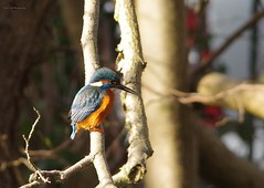 endcliffe park kingfisher sheffield 2018 (13) (Simon Dell Photography) Tags: endcliffe park bingham whitley woods forge dam kingfisher bird rare blue orange winter spring grey animal nature together wildlife sheffield botanical gardens simon dell photography 2018 feb 24 sunny detail high res perched sitting fishing