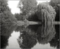 Spiegelungen am Teich (bertholdsw) Tags: agfa record apotar sw sundern schwarzweis analog hybridefotografie fp4 kodakhc110 epsonv750 gimp