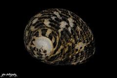 Fished Out of Water (smzoha) Tags: seashell shell stripes design waves spirals orange white black shape speckled macro closeup macromonday 7dwf lowkey fullmanual minimal