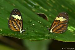 Hypothyris cantobrica (LPJC) Tags: villacarmen manu peru 2016 lpjc butterfly hypothyriscantobrica