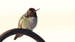 A very fluffy Anna's Hummingbird - Explored - Jan 22/2018 (Sandra_Gilchrist) Tags: sandragilchrist hummingbird annashummingbird annas nanoosebay britishcolumbia vancouverisland bird avian
