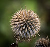 Blue globe-thistle (paullangton) Tags: seeds flower wild colour canon nature green