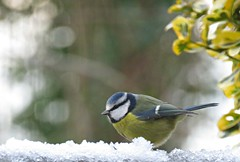 Blue Tit! ('cosmicgirl1960' NEW CANON CAMERA) Tags: birds avian feathers nature garden devon yabbadabbadoo