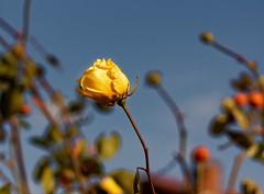 Ciel d'hiver - Winter sky (p.franche occupé - buzy) Tags: sky blue bleu rose jaune yellow fleur flower macro nature bokeh superbokek sony sonyalpha65 objectifminolta minoltalens minolta beercan vintage hdr dxo photolab bruxelles brussel brussels belgium belgique belgïe europe pfranche pascalfranche schaerbeek schaarbeek yourbestoftoday garden jardin bud bouton blume 花 blomst flor פרח virág bunga bláth blóm bloem kwiat цветок kvetina blomma květina ดอกไม้ hoa زهرة