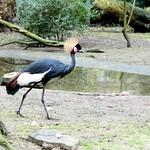 Black crowned crane thumbnail